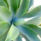 agawy szczegółu maguey śródziemnomorski pitera Zdjęcia Stock