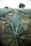 Agawy tequila krajobraz Obrazy Stock