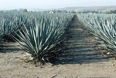 Agawy tequila krajobraz Guadalajara Zdjęcia Royalty Free