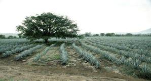 Agawy tequila krajobraz Guadalajara, jal Fotografia Stock