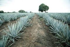 Agawy tequila krajobraz Guadalajara, Jalisco, Obrazy Royalty Free