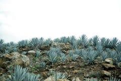 Agawy tequila krajobraz Guadalajara, Jalisco, Zdjęcia Royalty Free
