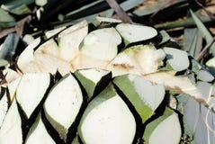 Agawy tequila produkcja Fotografia Stock