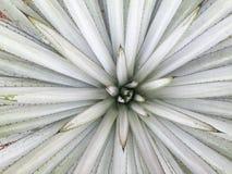 Agawy tequilana liście (makro- skład) Fotografia Stock