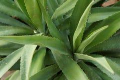 Agawy tequilana roślina Zdjęcia Royalty Free