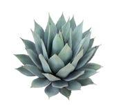agawy tło odizolowywający rośliny biel Obrazy Royalty Free