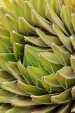 agawy up zamknięty Fotografia Stock