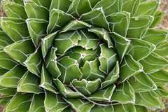 Agawy Wiktoria kaktusa zbliżenie Fotografia Royalty Free