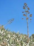 Agawy z dwa więdli kwiatostany odizolowywających na niebieskim niebie Fotografia Stock