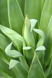 Agawy zieleni liście, Obraz Stock