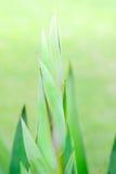 Agawy zieleni liście Fotografia Stock