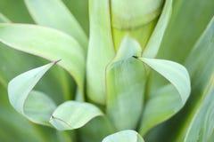 Agawy zieleni liście Zdjęcie Royalty Free