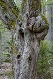 Gnarled tree trunk Stock Image