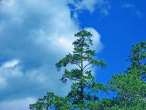 The age-old pine tree on the blue sky background. The mountains. Summer. Gory Altay, Russia. Stock Images