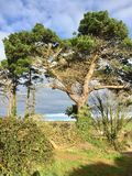 Age old pine trees Royalty Free Stock Image