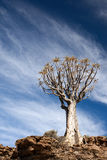 Age quiver tree in South Africa Royalty Free Stock Photos