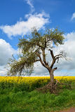 Age rotten tree on canola field Royalty Free Stock Photography