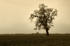 Aged Bare Oak Tree in Winter Fog royalty free stock images