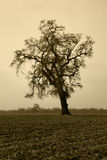 Aged Bare Oak Tree in Winter Fog Stock Image