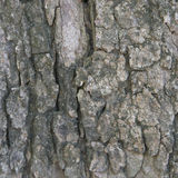 Aged bark in forest texture Royalty Free Stock Photo