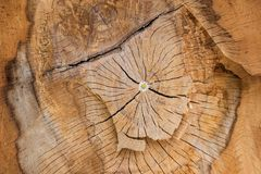 Natural tree pattern wood texture. Aged bark. Years concentric circles. with flower growing in the center Royalty Free Stock Photography