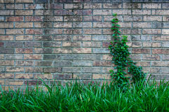 Aged Brick with Ivy Right Royalty Free Stock Photo