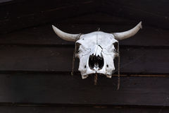 Aged cow skull. Hanging on wooden post Royalty Free Stock Photo