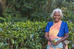 Aged female tea picker in Sri-Lanka Stock Image