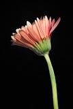 Aged Flower on Black Background royalty free stock image