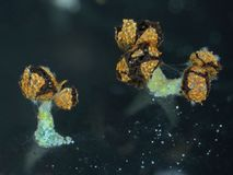 Aged fruit bodies of a slime mold Physarum polycephalum Royalty Free Stock Photography