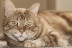 Aged Lazy Cat. With watery eyes waiting to pounce the photographer Royalty Free Stock Photo