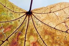 Aged maple leaf texture. Autumn season nature macro view. Translucent, aged transparent leaf pattern. soft focus Stock Photo