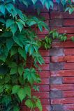 Weathered old rough dark red brick wall with wild grape shoots, brick blocks. Aged old rough dark red brick wall with wild grape shoots, brick blocks, blocks of royalty free stock images