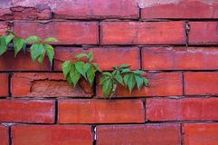 Weathered old rough dark red brick wall with wild grape shoots, brick blocks. Aged old rough dark red brick wall with wild grape shoots, brick blocks, blocks of stock photography