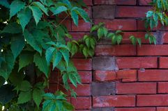 Weathered old rough dark red brick wall with wild grape shoots, brick blocks. Aged old rough dark red brick wall with wild grape shoots, brick blocks, blocks of royalty free stock image
