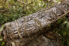 Aged old trunk cut fallen Mexico jungle Royalty Free Stock Photo