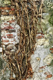 Aged old wall with roots texture background Royalty Free Stock Photo
