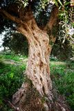 Aged olive tree in Messinia, Greece. View of aged olive tree in mountainous Messinia, Peloponnese region, Greece Stock Photo