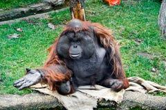 Aged orangutan. Aged male orangutan in the Moscow zoo Stock Photo