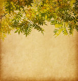 Aged paper texture with branch of autumn leaves. Pagoda Tree royalty free stock photo