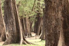 Aged Pine Wood Forest against Wind from Ocean beach, abstract lo Stock Photography