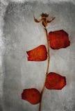 Aged Rose Stock Image