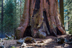 Aged Sequoia Trunk Royalty Free Stock Photo
