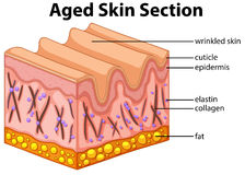 Aged skin section diagram Stock Image