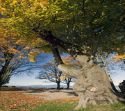 Aged strong tree Stock Photography
