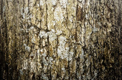 Aged tree bark. Texture close up Royalty Free Stock Photography