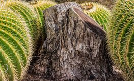 Aged tree stump surrounded by beautiful Golden Barrel Cactus royalty free stock images