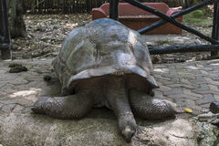 Aged Turtle. In Prison Island, Changuu Island also known as Kibandiko near Stone Town, Unguja, Zanzibar, the are hundreds of big turtle. Their size depends on Royalty Free Stock Photos