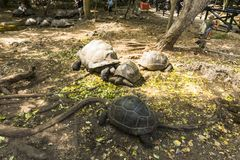 Aged Turtles. In Prison Island, Changuu Island also known as Kibandiko near Stone Town, Unguja, Zanzibar, the are hundreds of big turtle. Their size depends on Royalty Free Stock Image