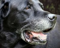 Aged white-haired Labrador Dog. Brown eyes. Black and gray coat Fangs and pink tongue royalty free stock images